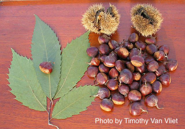 The Return of the American Chestnut