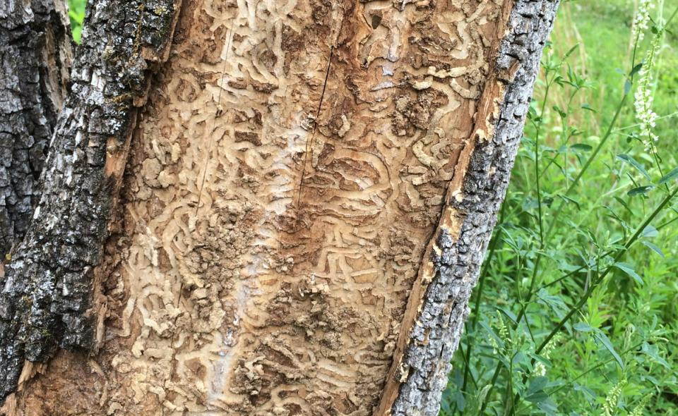 Ash Lumber and the Emerald Ash Borer